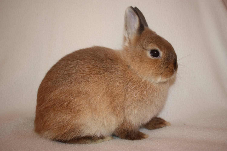 Взрослые польские кролики