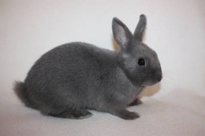 декоративный, карликовый, кролик, порода, цветной, карлик, самец, окрас, голубой